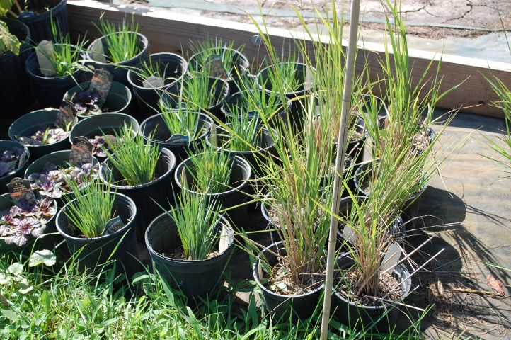 Availability spring 2016 roots backyard nursery for Short variegated grass